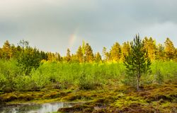 Pine forest after the rain. Royalty Free Stock Photo