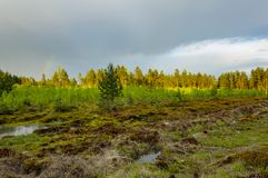 Pine forest after the rain. Stock Image