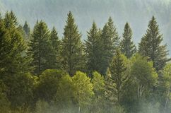 Pine Forest During Rainstorm Lush Trees Royalty Free Stock Image