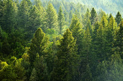 Pine Forest During Rainstorm Lush Trees Royalty Free Stock Photos