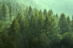 Pine Forest During Rainstorm Lush Trees. Forest Rain Storm with Drops Falling and Lush Trees Royalty Free Stock Photo
