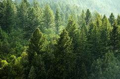 Pine Forest During Rainstorm Lush Trees. Forest Rain Storm with Drops Falling and Lush Trees Royalty Free Stock Images