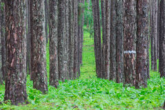 Pine forest in rainy season Royalty Free Stock Photos