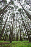 pine forest in rainy season Stock Images