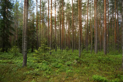 The pine forest, the rays of the Sun penetrate Royalty Free Stock Photography