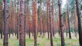 Pine forest. Red bark pines in a forest Royalty Free Stock Images
