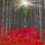 The pine forest with red bushes Royalty Free Stock Image