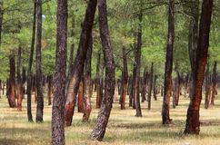 Pine forest resin extraction Stock Photography