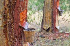 Pine forest resin extraction Stock Images