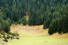 Pine forest in Rhodope mountains Stock Photo