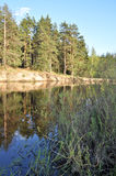 Pine forest on the river Bank. Stock Photo