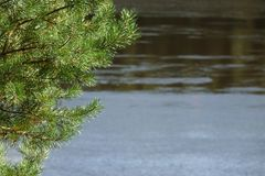 Pine Forest on the river Bank.Wildlife. Water landscape.  royalty free stock photos