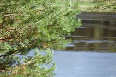 Pine Forest on the river Bank.Wildlife. Water landscape.  royalty free stock photo