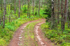 Pine forest road Stock Image