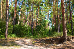 Pine forest road Stock Photography