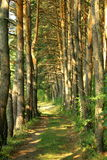 Pine Forest Road Stock Photos