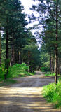 Pine forest road. Path in forest through high pine tree Royalty Free Stock Image