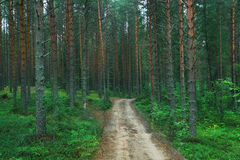 Pine forest. Road in the pine forest stock image