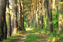 Pine Forest Road Royalty Free Stock Photos