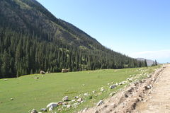 Pine Forest. Road in canyon Barscoon kyrgyzstan Royalty Free Stock Photography
