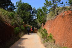 Pine forest with the road throught the forest for travel in Dalat, Vietnam Stock Image