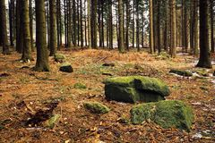 Pine forest. Rock in a pine forest royalty free stock photography