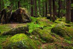 Pine forest with rocks and green moss Stock Photo