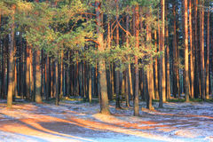 Pine forest, Russia Stock Photo