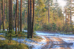 Pine forest, Russia Stock Photos