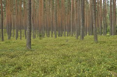 Pine forest. Russia. Pine forest in the summer. Silence . Russia Stock Photos