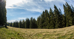 Pine forest scenery Stock Photo