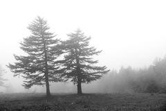 Pine forest scenery. The pine forest in thick mist Royalty Free Stock Photography