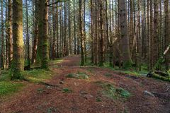 Pine forest in Scotland. A pine forest along the Cateran trail in Perthshire, Scotland royalty free stock image