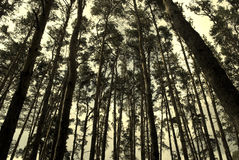 Pine forest in sepia Stock Images