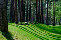 Pine forest with shadows and rays of lights Stock Photography