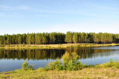 Pine forest on the shores of Lake. Pine forest on the lake in the morning stock photo