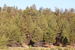 Pine Forest in the Sierra Nevada Mountains. A beautiful pine forest in the Sierra Nevada Mountains Royalty Free Stock Images