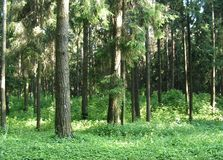 Morning in a pine forest. Pine forest in the slanting rays of the sun. Belarus. Summer forest royalty free stock images