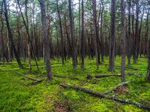 Pine forest in the Slowinski National Park, Poland Stock Photos