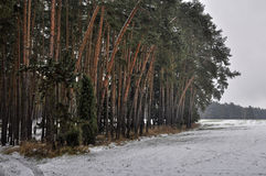 Pine forest in snow Royalty Free Stock Images