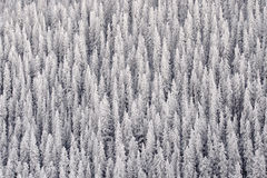 Pine Forest in Snow Stock Image