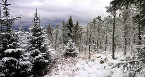Pine Forest Snow Scene Royalty Free Stock Photos
