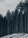 Pine forest and snow Stock Photo