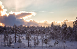 Pine forest in the snow Stock Image