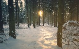 Pine Forest with snow in sunset time, Hungary Royalty Free Stock Images
