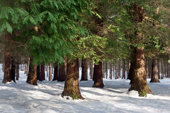 Pine forest with snow Stock Images