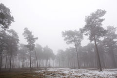 Pine forest and snow in winter near zeist in the netherlands. Pine forest and snow in winter near zeist and driebergen in holland Stock Image
