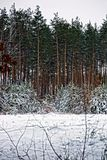 Pine forest in snowdrifts under the snow Stock Photos