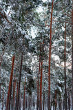 Pine forest after a snowfall Royalty Free Stock Photography