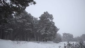 Pine forest in a snowstorm, beautiful Christmas tree in the snow winter forest. Pine forest in a snowstorm, beautiful Christmas tree in the snow winter forest stock video footage